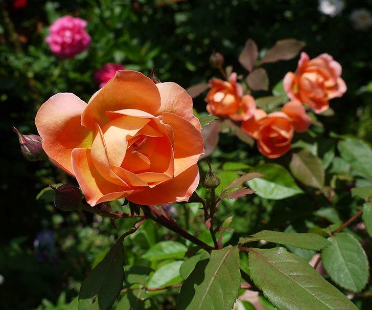 レディ・エマ・ハミルトン(木立バラ)の花が綺麗に咲いた。2017年-1.jpg