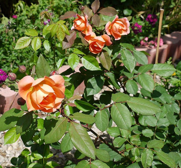 レディ・エマ・ハミルトン(木立バラ)の花が綺麗に咲いた。2017年-2.jpg
