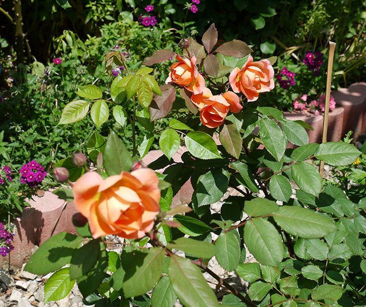 レディ・エマ・ハミルトン(木立バラ)の花が綺麗に咲いた。2017年-3.jpg