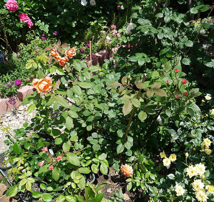 レディ・エマ・ハミルトン(木立バラ)の花が綺麗に咲いた。2017年-4.jpg