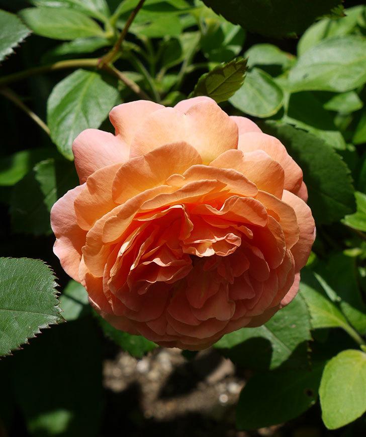 レディ・エマ・ハミルトン(木立バラ)の花が綺麗に咲いた。2017年-5.jpg