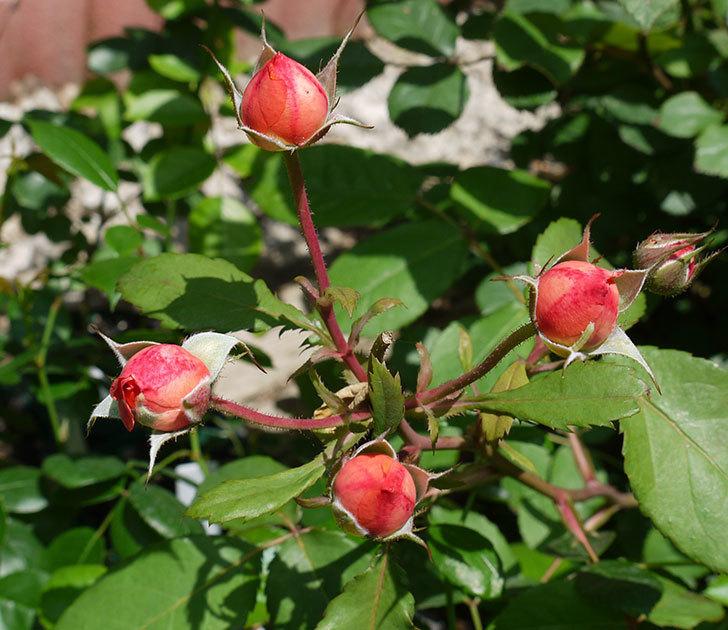レディ・エマ・ハミルトン(木立バラ)の花が綺麗に咲いた。2017年-6.jpg