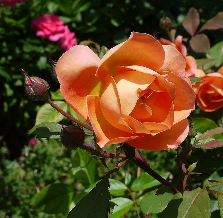 レディ・エマ・ハミルトン(木立バラ)の花が綺麗に咲いた。2017年-7.jpg