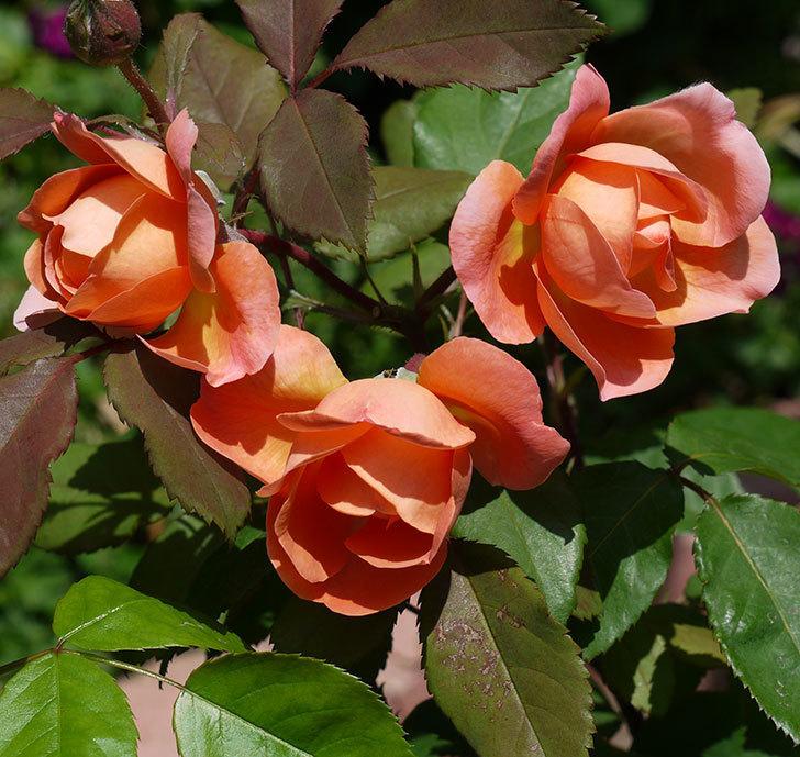 レディ・エマ・ハミルトン(木立バラ)の花が綺麗に咲いた。2017年-8.jpg