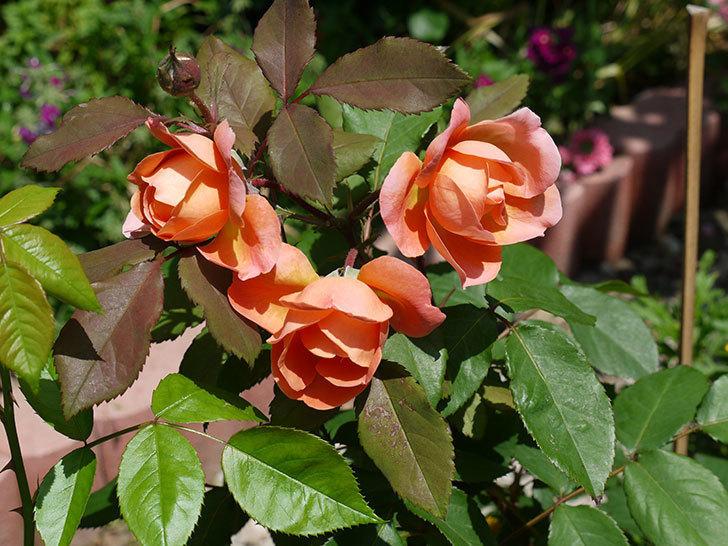 レディ・エマ・ハミルトン(木立バラ)の花が綺麗に咲いた。2017年-9.jpg