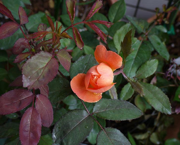 レディ・エマ・ハミルトン(木立バラ)の開花株の2番花が咲きだした。2016年-1.jpg