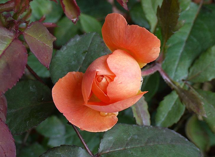 レディ・エマ・ハミルトン(木立バラ)の開花株の2番花が咲きだした。2016年-2.jpg
