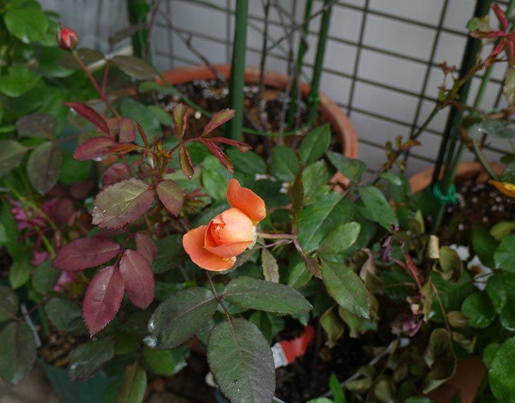 レディ・エマ・ハミルトン(木立バラ)の開花株の2番花が咲きだした。2016年-4.jpg