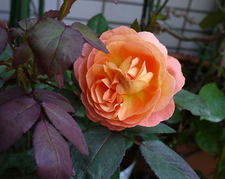 レディ・エマ・ハミルトン(木立バラ)の開花株の2番花が綺麗に咲いた。2016年-1.jpg