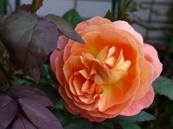 レディ・エマ・ハミルトン(木立バラ)の開花株の2番花が綺麗に咲いた。2016年-2.jpg