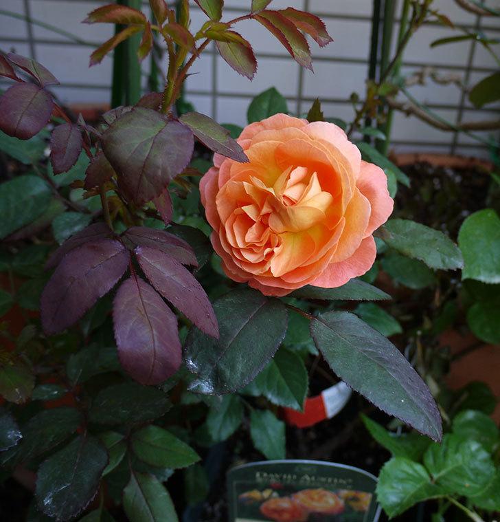 レディ・エマ・ハミルトン(木立バラ)の開花株の2番花が綺麗に咲いた。2016年-3.jpg