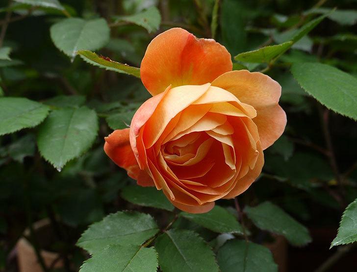 レディ・エマ・ハミルトン(木立バラ)の開花株の花が咲いた。2016年-1.jpg
