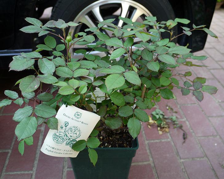 レディ・エマ・ハミルトン(木立バラ)の開花株をホームズで買って来た。2016年-1.jpg