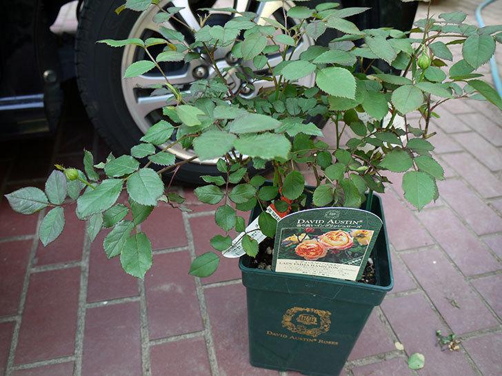 レディ・エマ・ハミルトン(木立バラ)の開花株をホームズで買って来た。2016年-2.jpg