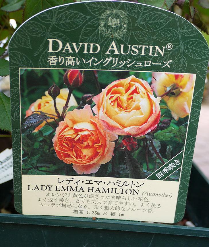 レディ・エマ・ハミルトン(木立バラ)の開花株をホームズで買って来た。2016年-3.jpg