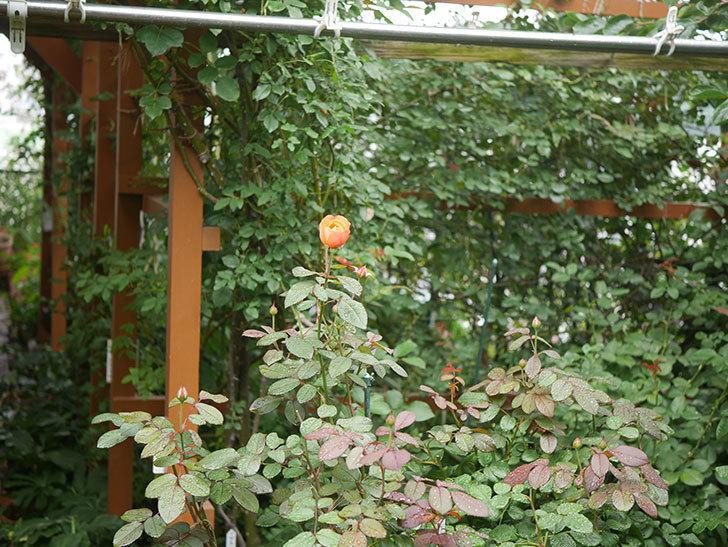 レディ・エマ・ハミルトン(Lady Emma Hamilton)の2番花が1個咲いた。木立バラ。2020年-001.jpg