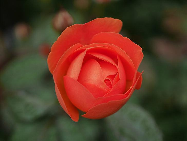 レディ・エマ・ハミルトン(Lady Emma Hamilton)の2番花が1個咲いた。木立バラ。2020年-003.jpg