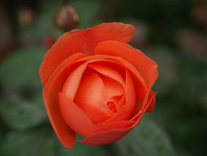 レディ・エマ・ハミルトン(Lady Emma Hamilton)の2番花が1個咲いた。木立バラ。2020年-004.jpg