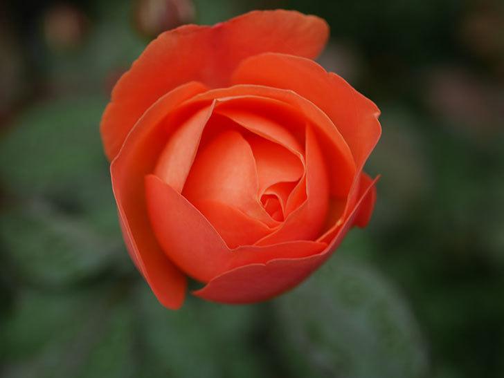 レディ・エマ・ハミルトン(Lady Emma Hamilton)の2番花が1個咲いた。木立バラ。2020年-005.jpg