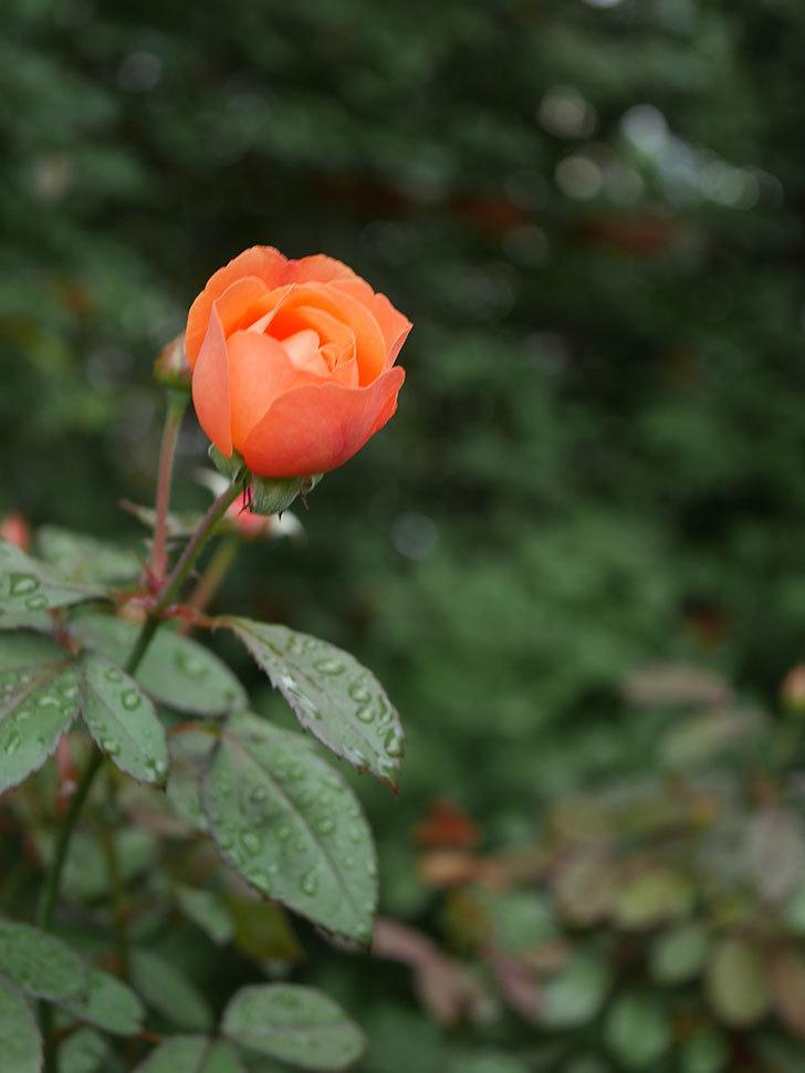 レディ・エマ・ハミルトン(Lady Emma Hamilton)の2番花が1個咲いた。木立バラ。2020年-007.jpg
