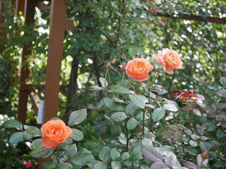 レディ・エマ・ハミルトン(Lady Emma Hamilton)の2番花が4個咲いた。木立バラ。2020年-001.jpg