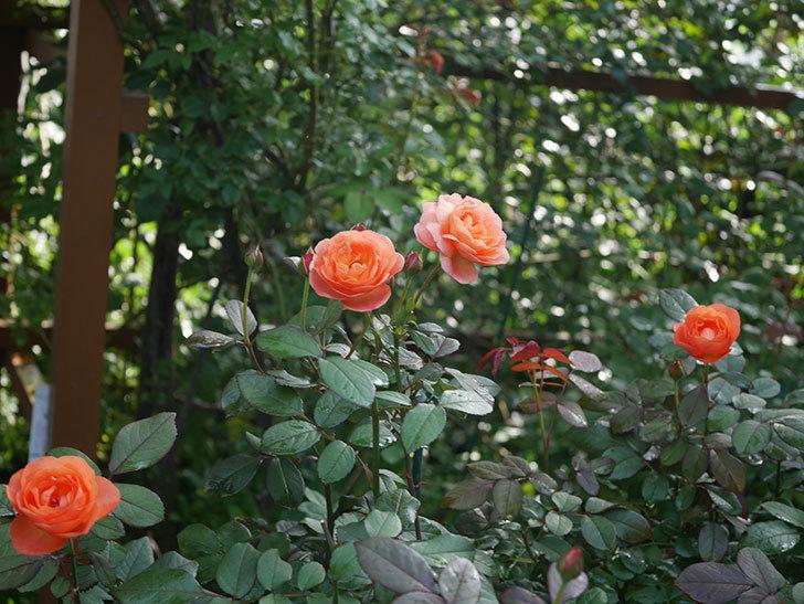 レディ・エマ・ハミルトン(Lady Emma Hamilton)の2番花が4個咲いた。木立バラ。2020年-002.jpg
