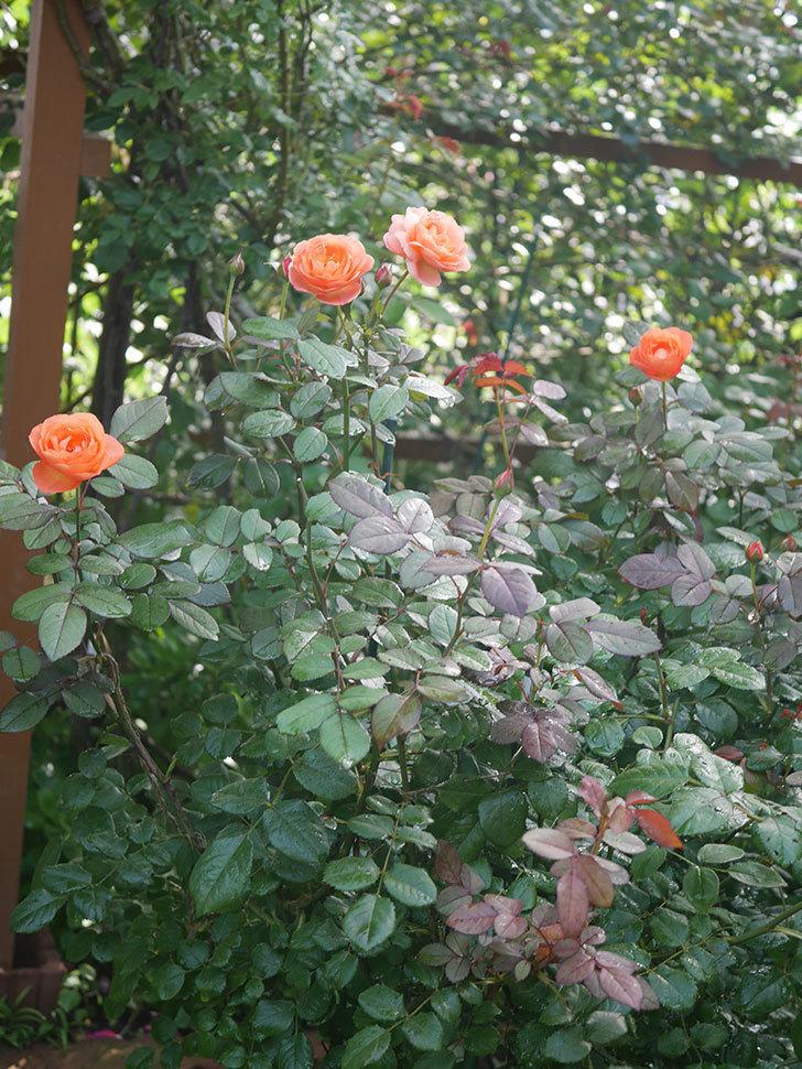 レディ・エマ・ハミルトン(Lady Emma Hamilton)の2番花が4個咲いた。木立バラ。2020年-003.jpg