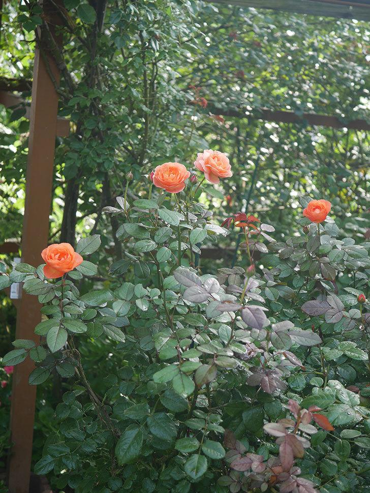 レディ・エマ・ハミルトン(Lady Emma Hamilton)の2番花が4個咲いた。木立バラ。2020年-004.jpg