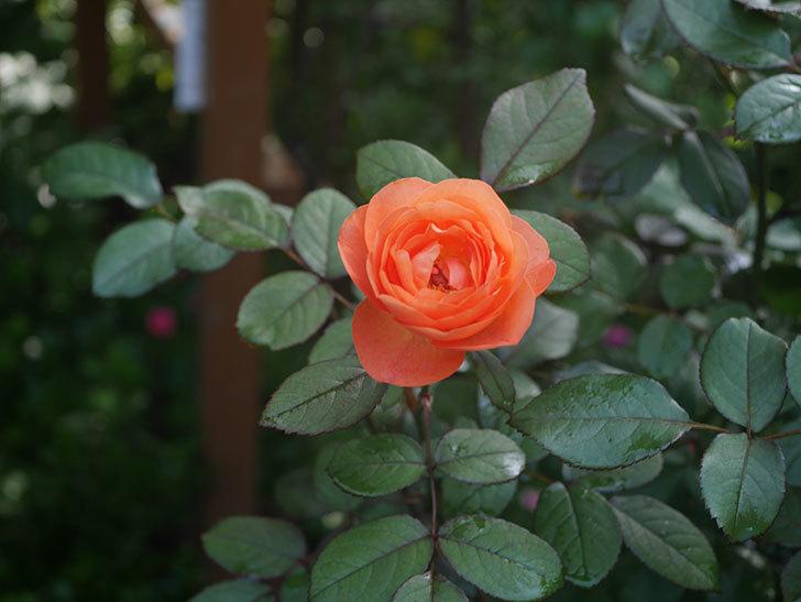 レディ・エマ・ハミルトン(Lady Emma Hamilton)の2番花が4個咲いた。木立バラ。2020年-006.jpg