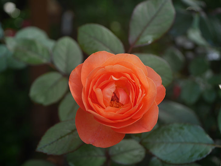 レディ・エマ・ハミルトン(Lady Emma Hamilton)の2番花が4個咲いた。木立バラ。2020年-007.jpg
