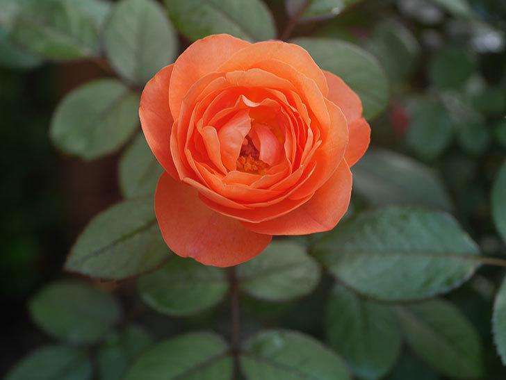 レディ・エマ・ハミルトン(Lady Emma Hamilton)の2番花が4個咲いた。木立バラ。2020年-008.jpg
