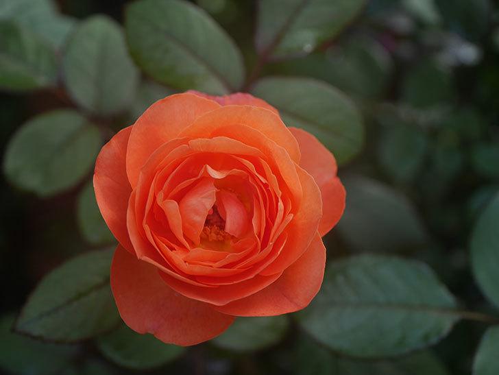 レディ・エマ・ハミルトン(Lady Emma Hamilton)の2番花が4個咲いた。木立バラ。2020年-009.jpg