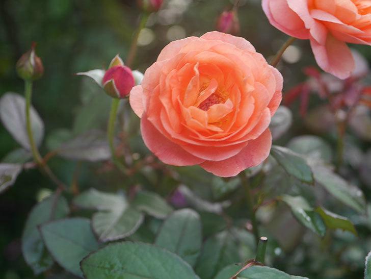 レディ・エマ・ハミルトン(Lady Emma Hamilton)の2番花が4個咲いた。木立バラ。2020年-010.jpg
