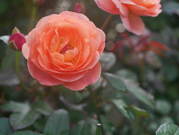 レディ・エマ・ハミルトン(Lady Emma Hamilton)の2番花が4個咲いた。木立バラ。2020年-011.jpg