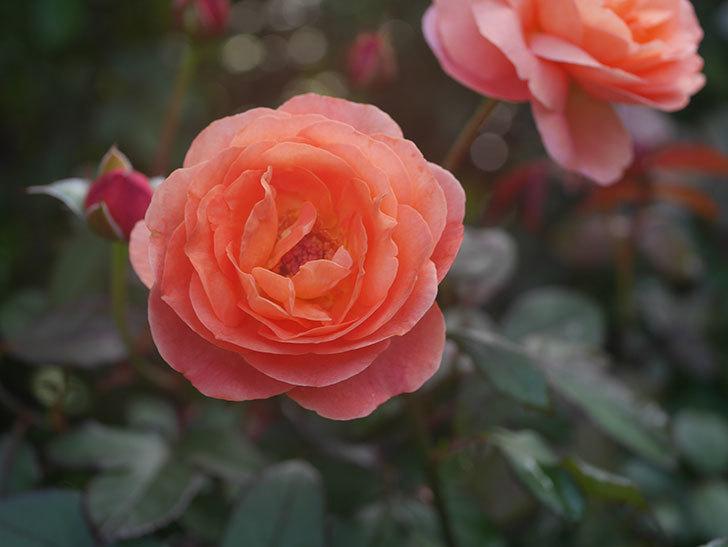 レディ・エマ・ハミルトン(Lady Emma Hamilton)の2番花が4個咲いた。木立バラ。2020年-012.jpg