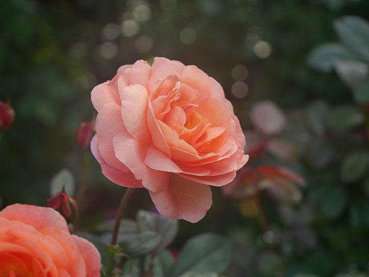 レディ・エマ・ハミルトン(Lady Emma Hamilton)の2番花が4個咲いた。木立バラ。2020年-013.jpg