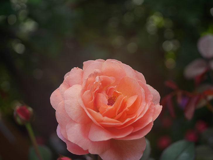 レディ・エマ・ハミルトン(Lady Emma Hamilton)の2番花が4個咲いた。木立バラ。2020年-014.jpg