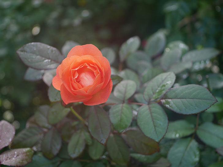 レディ・エマ・ハミルトン(Lady Emma Hamilton)の2番花が4個咲いた。木立バラ。2020年-015.jpg