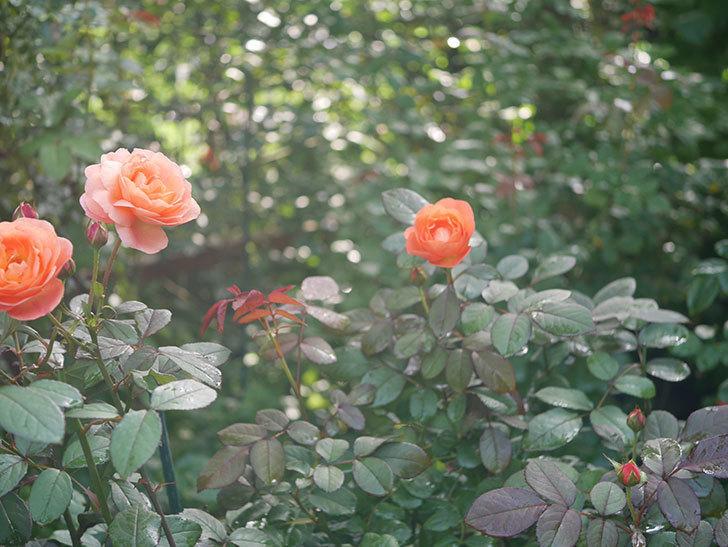 レディ・エマ・ハミルトン(Lady Emma Hamilton)の2番花が4個咲いた。木立バラ。2020年-016.jpg