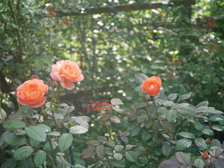 レディ・エマ・ハミルトン(Lady Emma Hamilton)の2番花が4個咲いた。木立バラ。2020年-017.jpg