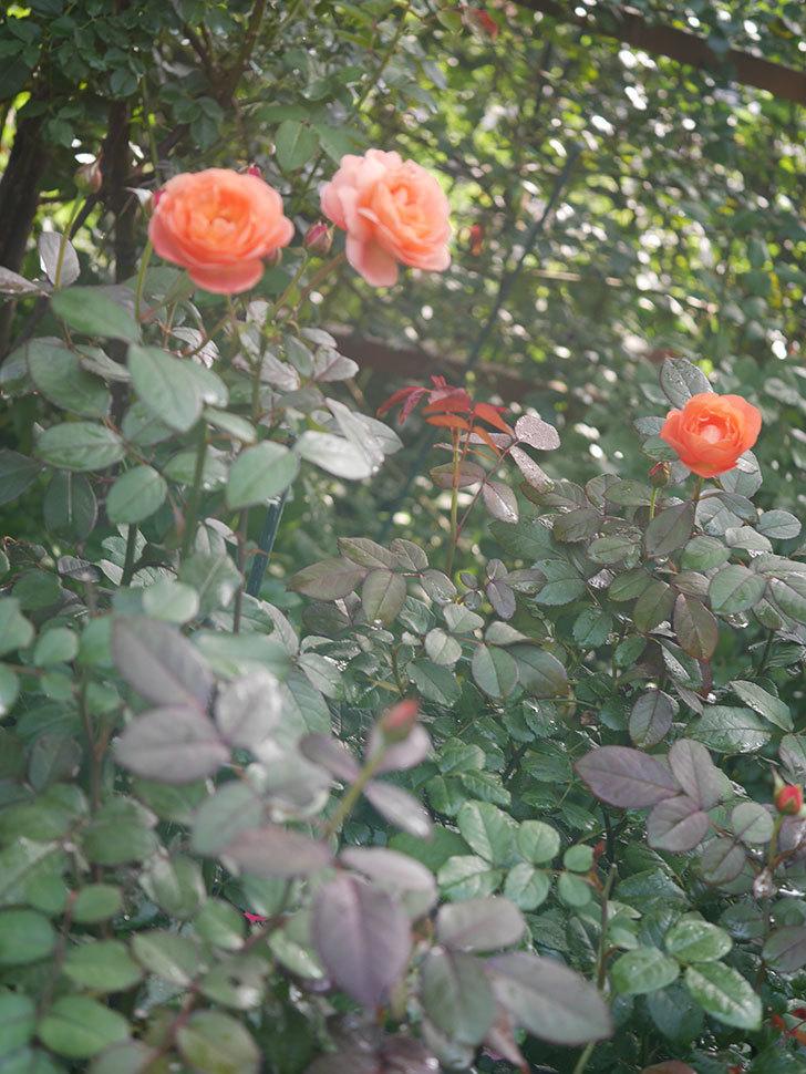 レディ・エマ・ハミルトン(Lady Emma Hamilton)の2番花が4個咲いた。木立バラ。2020年-018.jpg