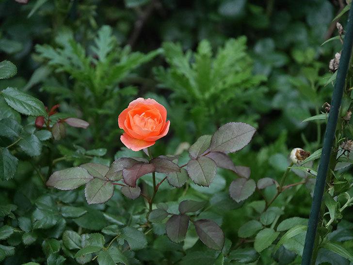 レディ・エマ・ハミルトン(Lady Emma Hamilton)の2番花がまた咲いた。木立バラ。2020年-001.jpg