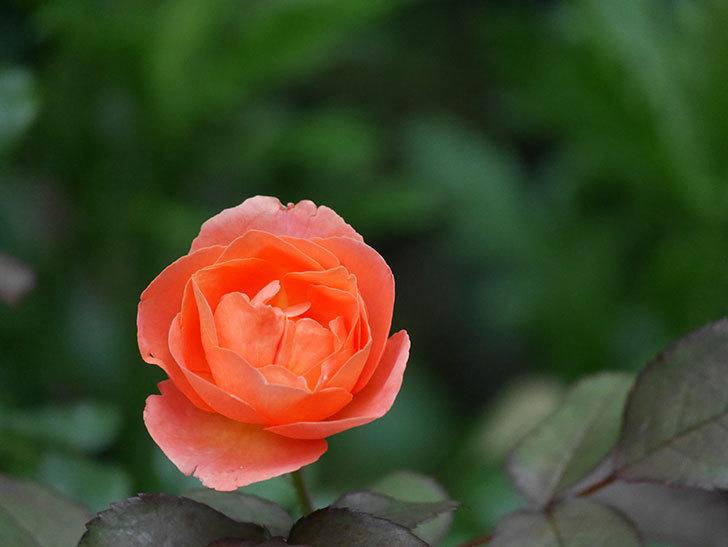 レディ・エマ・ハミルトン(Lady Emma Hamilton)の2番花がまた咲いた。木立バラ。2020年-002.jpg