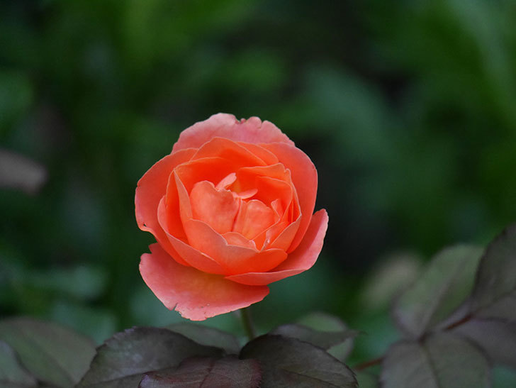 レディ・エマ・ハミルトン(Lady Emma Hamilton)の2番花がまた咲いた。木立バラ。2020年-003.jpg