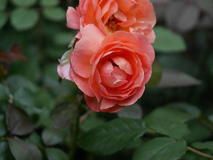 レディ・エマ・ハミルトン(Lady Emma Hamilton)の2番花がまた咲いた。木立バラ。2020年-004.jpg