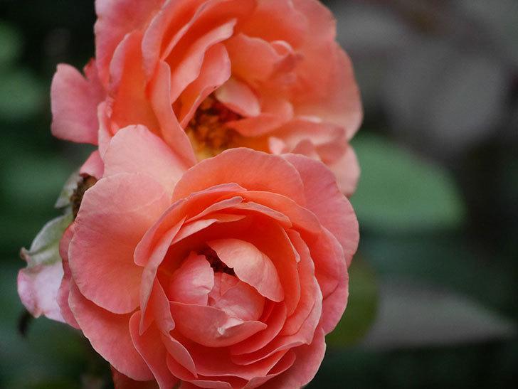 レディ・エマ・ハミルトン(Lady Emma Hamilton)の2番花がまた咲いた。木立バラ。2020年-005.jpg