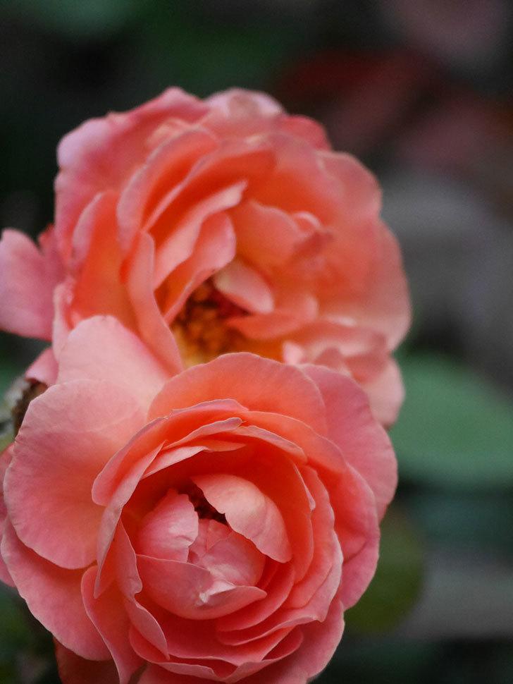 レディ・エマ・ハミルトン(Lady Emma Hamilton)の2番花がまた咲いた。木立バラ。2020年-006.jpg