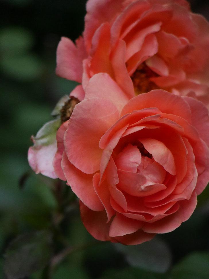 レディ・エマ・ハミルトン(Lady Emma Hamilton)の2番花がまた咲いた。木立バラ。2020年-007.jpg