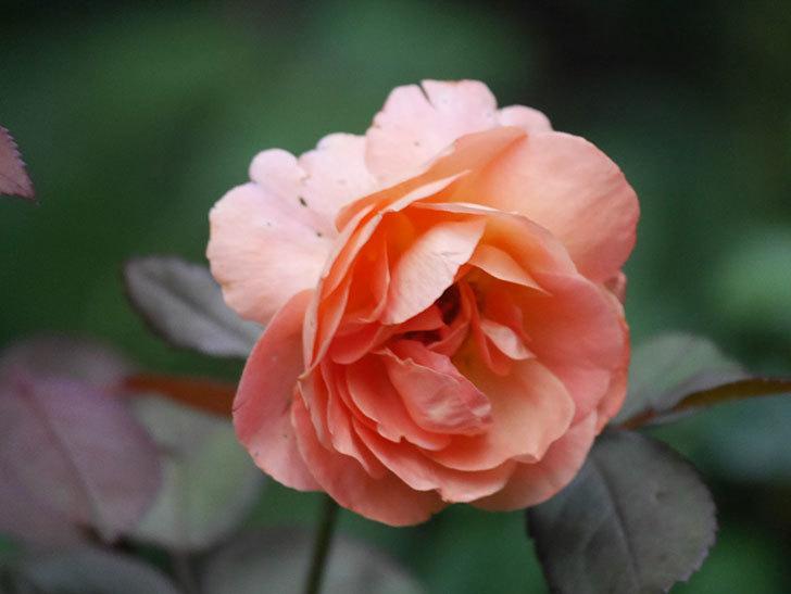 レディ・エマ・ハミルトン(Lady Emma Hamilton)の2番花がまた咲いた。木立バラ。2020年-008.jpg