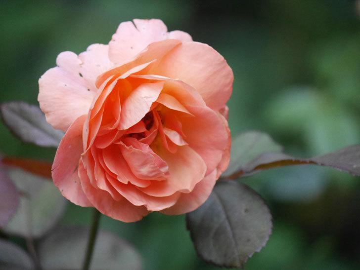 レディ・エマ・ハミルトン(Lady Emma Hamilton)の2番花がまた咲いた。木立バラ。2020年-009.jpg